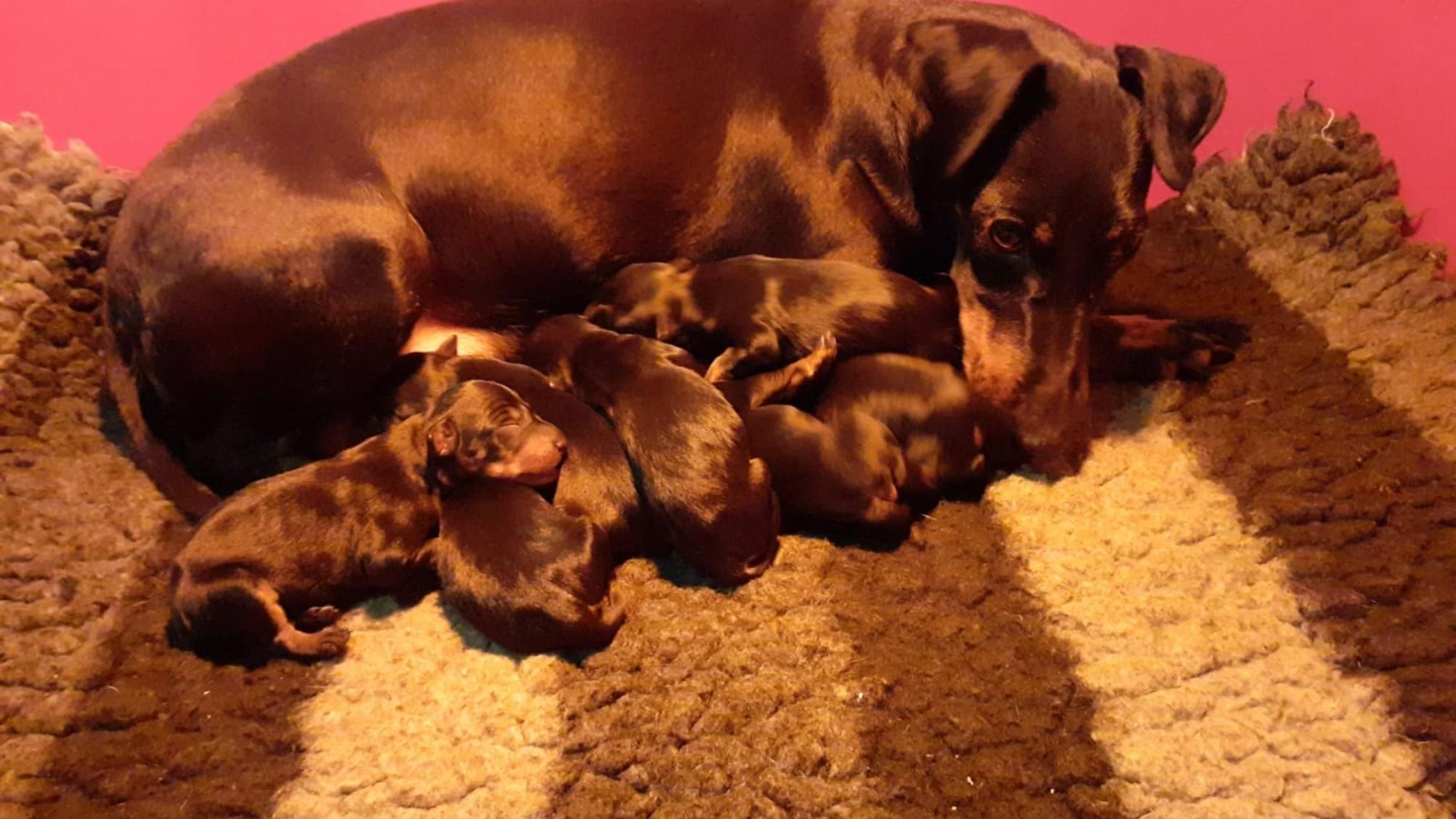 cucciolata-manchester-terrier1